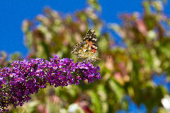 Vanessa cardui. A butterfly sitting on a flower Royalty Free Stock Image