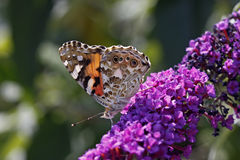 Vanessa cardui, Painted lady butterfly stock image