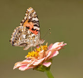 Vanessa cardui, Painted Lady butterfly Stock Images