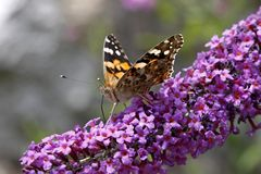 Vanessa cardui, Painted lady butterfly (Cynthia cardui) royalty free stock image