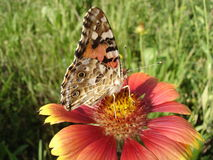 Vanessa cardui (painted lady) butterfly on a gaillardia flower Royalty Free Stock Photos