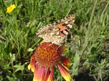 Vanessa cardui (painted lady) butterfly on a gaillardia flower Stock Image