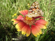 Vanessa cardui (painted lady) butterfly on a gaillardia flower Stock Photo
