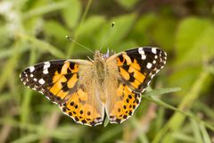 Vanessa cardui, Painted Lady butterfly from Lower Saxony, Germany stock image