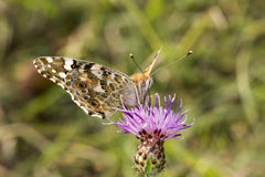 Vanessa cardui, Painted Lady butterfly from Lower Saxony, Germany royalty free stock images