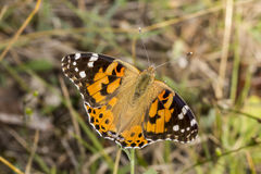 Vanessa cardui, Painted Lady butterfly from Lower Saxony, Germany stock photo
