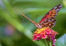 Vanessa cardui Painted Lady butterfly Royalty Free Stock Photos