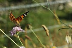 Vanessa cardui or Painted lady, a orange and black butterfly drinking nectar from an purple flower stock images
