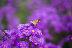 Vanessa-cardui Schmetterling auf purpurroten Blumen Stockbilder