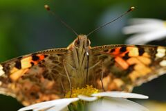 Free Vanessa Cardui , The Painted Lady Butterfly Portrait Nectar Suckling On Flower , Butterflies Of Iran Royalty Free Stock Photos - 202003918