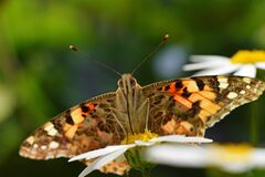 Free Vanessa Cardui , The Painted Lady Butterfly Portrait Nectar Suckling On Flower , Butterflies Of Iran Royalty Free Stock Photo - 202054665