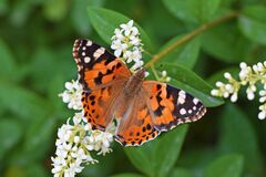 Free Vanessa Cardui , The Painted Lady Butterfly Suckling Nectar On Flower Dorsal View , Butterflies Of Iran Royalty Free Stock Photo - 182229845