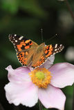 Vanessa cardui thistle butterfly Stock Photography