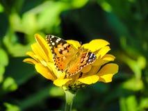 Vanessa cardui on a yellow Zinnia. Beautiful Buttefly Vanessa cardui `painted lady` on a yellow Zinnia flower Royalty Free Stock Photo