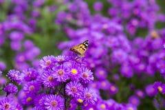 Vanessa carduifjäril på purpurfärgade blommor Fotografering för Bildbyråer
