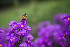 Vanessa carduifjäril på purpurfärgade blommor Arkivfoton