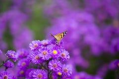 Vanessa carduifjäril på purpurfärgade blommor Royaltyfri Bild