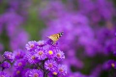 Vanessa carduifjäril på purpurfärgade blommor Arkivbilder
