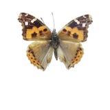 Vanessa indica fjärilar Arkivfoton