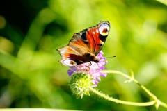 Vanessa io della farfalla il giorno di fioritura sistema l'estate rurale di sally del fiore del fireweed Fotografie Stock