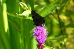 Vanessa io della farfalla il giorno di fioritura sistema l'estate rurale di sally del fiore del fireweed Immagini Stock Libere da Diritti