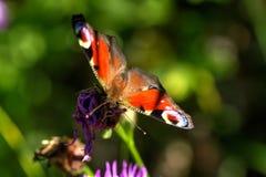 Vanessa io della farfalla il giorno di fioritura sistema l'estate rurale di sally del fiore del fireweed Immagine Stock