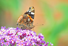 Vanessa urticae butterfly Royalty Free Stock Photo