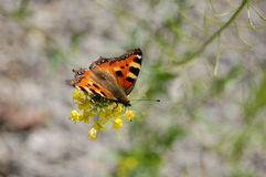 Vanessa urticae. Motley butterfly on the yellow flower Royalty Free Stock Images