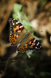 Vanesse butterfly (painted lady) Stock Photos