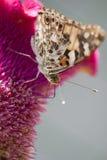 vanesse des chardons бабочки Стоковая Фотография RF