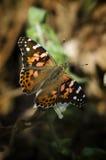 Vanessevlinder (geschilderde dame) Stock Foto's
