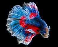 Vang het bewegende ogenblik van blauwe siamese het vechten vissen Stock Afbeeldingen