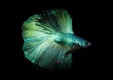 Vang het bewegende ogenblik van witte die siamese het vechten vissen op zwarte achtergrond wordt geïsoleerd De vissen van Betta royalty-vrije stock foto