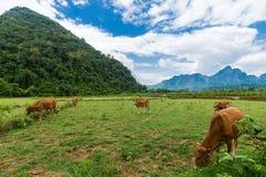 Vang Vieng,老挝,看法,母牛 库存照片
