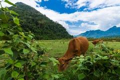Vang Vieng, Лаос, взгляд, корова Стоковые Изображения