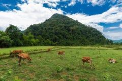 Vang Vieng, Laos, Ansicht, Kuh Lizenzfreies Stockbild