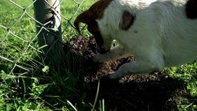 Vangata del terrier di russell della presa della razza del cane un foro Foro di scavatura di russell della presa della razza del  video d archivio