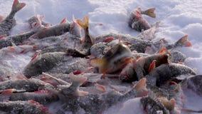 Vangst bij ijs de visserij stock video