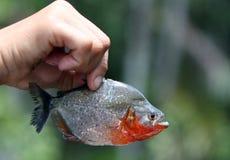 Vangst van de dag - een piranha van Amazonië Stock Afbeeldingen