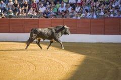 Vangst van het cijfer van een moedige stier in een stieregevecht, Spanje Royalty-vrije Stock Foto