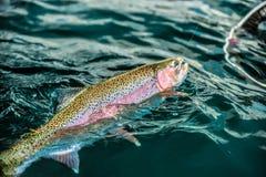 Vangst van Regenboogforel Royalty-vrije Stock Fotografie