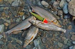 Vangst van vissen 12 Stock Afbeelding