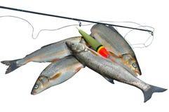 Vangst van vissen 17 Stock Foto's