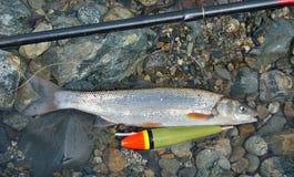 Vangst van vissen    Stock Afbeeldingen