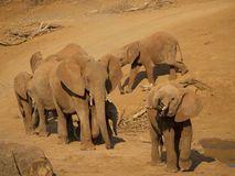 Vanguard of elephants Stock Photography