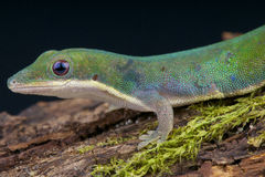 Vanheygeni's daygecko / Phelsuma vanheygeni Royalty Free Stock Photography