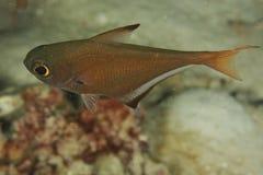 Vanicolensis di Pempheris - mare di Andaman fotografia stock