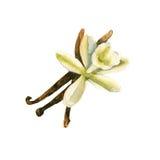 Vaniglia della spezia con un fiore Isolato Illustrazione dell'acquerello Fotografia Stock