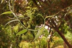 Vanilj blomningväxt i Orchidaceae royaltyfri foto
