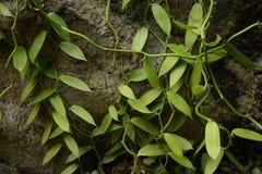 Vaniljplanifolia arkivfoto